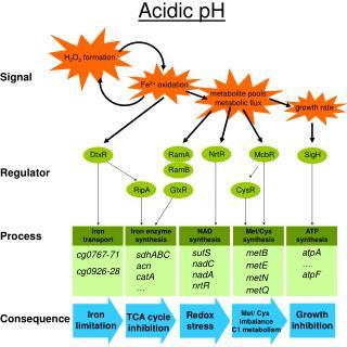 Acidic pH