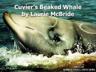 Cuvier's Beaked Whale by Laurie McBride