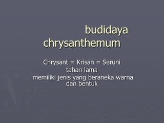 budidaya chrysanthemum