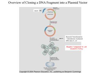 Overview of Cloning a DNA Fragment into a Plasmid Vector