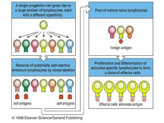 Antigen-Independent B-Cell Development