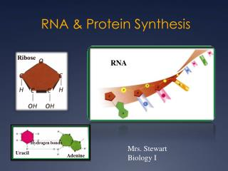 RNA & Protein Synthesis
