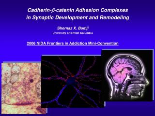 Cadherin- -catenin Adhesion Complexes  in Synaptic Development and Remodeling