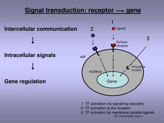 Intercellular communication Intracellular signals Gene regulation