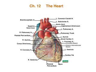 Ch. 12     The Heart