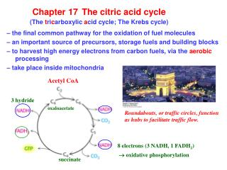 Chapter 17 The citric acid cycle (The  t ri c arboxylic  a cid cycle; The Krebs cycle)