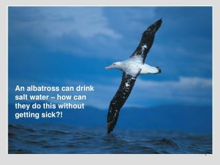An albatross can drink salt water – how can they do this without getting sick?!