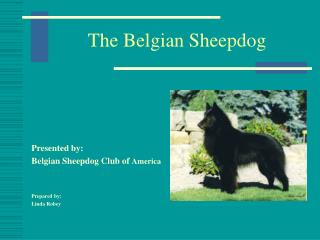The Belgian Sheepdog