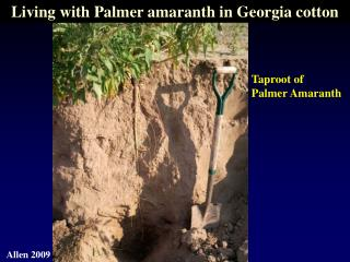 Taproot of Palmer Amaranth