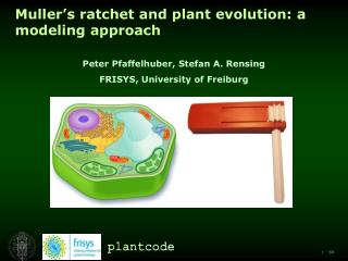 Muller's ratchet and plant evolution: a modeling approach