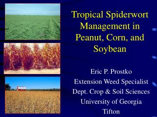 Tropical Spiderwort Management in  Peanut, Corn, and Soybean