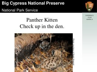Panther Kitten  Check up in the den.