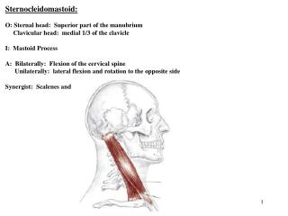 Sternocleidomastoid:    O: Sternal head:  Superior part of the manubrium                                    Clavicular h
