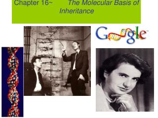Chapter 16~	    The Molecular Basis of Inheritance