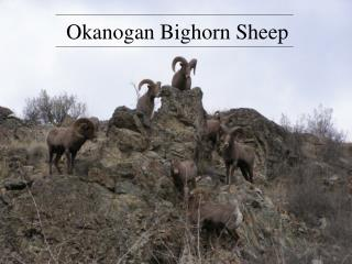Okanogan Bighorn Sheep