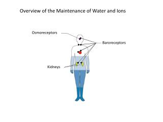 Overview of the Maintenance of Water and Ions