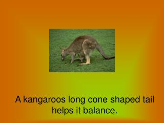 A kangaroos long cone shaped tail helps it balance.