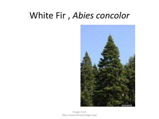White Fir ,  Abies concolor