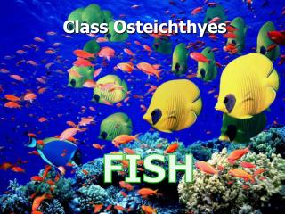Class  Osteichthyes