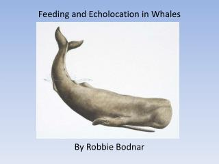 Feeding and Echolocation in Whales