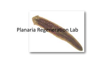 Planaria Regeneration Lab