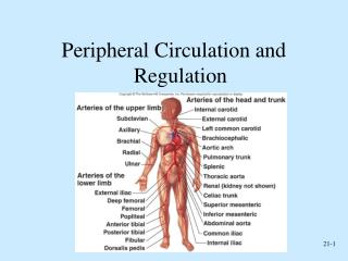 Peripheral Circulation and Regulation