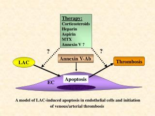 A model of LAC-induced apoptosis in endothelial cells and initiation