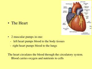 The Heart 2 muscular pumps in one:    -   left heart pumps blood to the body tissues