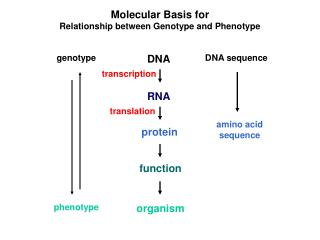 Molecular Basis for Relationship between Genotype and Phenotype