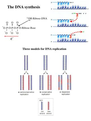 The DNA synthesis