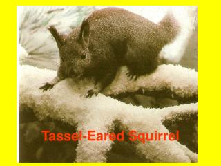 Tassel-Eared Squirrel