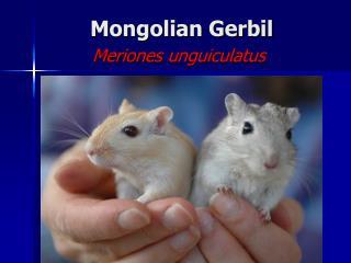 Mongolian Gerbil Meriones unguiculatus