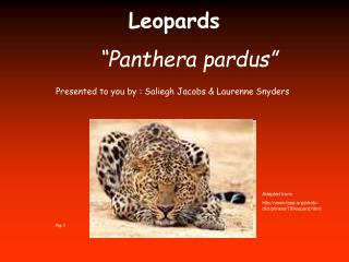 "Leopards ""Panthera pardus"""
