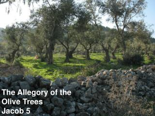 The Allegory of the Olive Trees Jacob 5