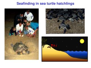 Seafinding in sea turtle hatchlings