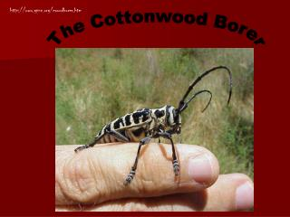 The Cottonwood Borer