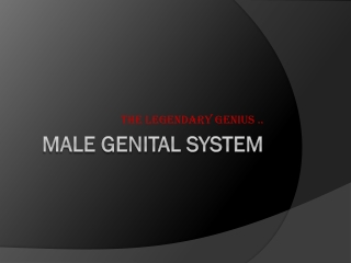 Male Genital System Penis