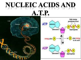 Nucleic acids and A.t.p .