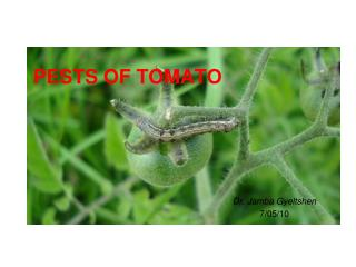 PESTS OF TOMATO
