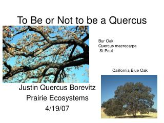 To Be or Not to be a Quercus