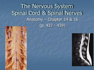 The Nervous System Spinal Cord  Spinal Nerves
