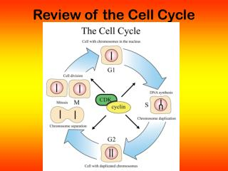 Review of the Cell Cycle