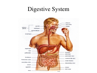 In which regions of the digestive tract does mechanical processing occur