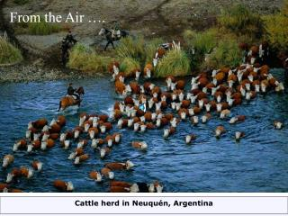Cattle herd in Neuquén, Argentina