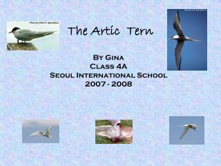 The Artic  Tern