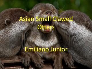 Asian Small Clawed Otters