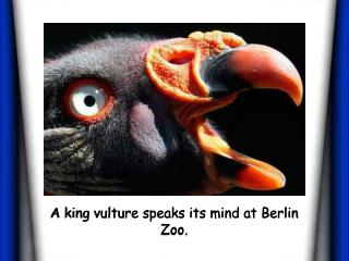 A king vulture speaks its mind at Berlin Zoo.