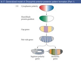 9.17  Generalized model of  Drosophila  anterior-posterior pattern formation (Part 1)