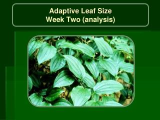 Adaptive Leaf Size Week Two (analysis)