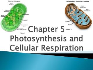 Chapter 5  Photosynthesis and Cellular Respiration